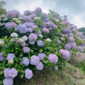 新しい記事: 紫陽花の季節〜