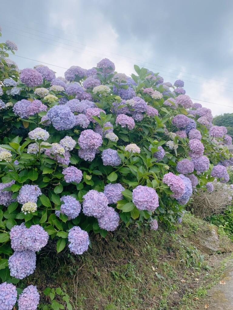 紫陽花の季節〜